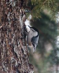 animal, branch, tree, fauna, woodpecker, beak, bird, wildlife,