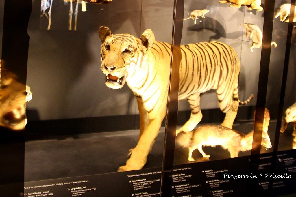 Last tiger of Singapore