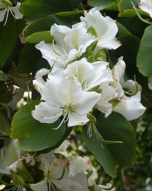 Bauhinia variegata 17158855300_ccdd4bee18_o