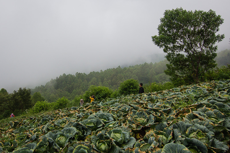 Membelah kebun sayur menuju Coban Sumber Pitu - Pujon