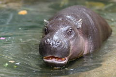 Pygmy Hippo Mouth Open in Water