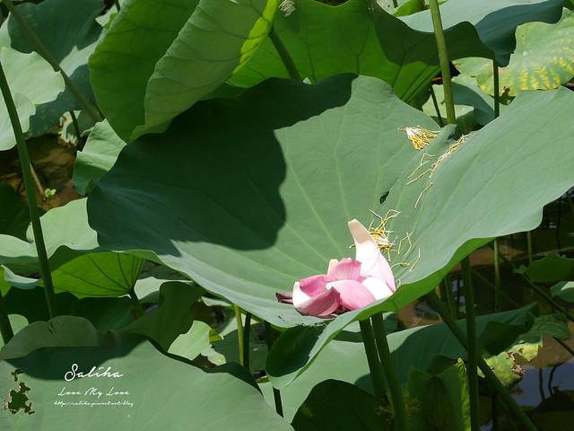 台北一日遊景點推薦植物園荷花蓮花池 (10)