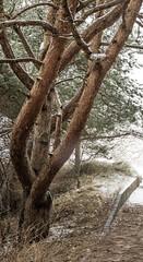 Three-trunk tree