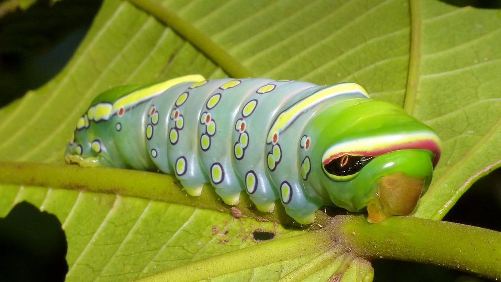 Caterpillar with fake snake eyes, Naprepa sp., Notodontidae