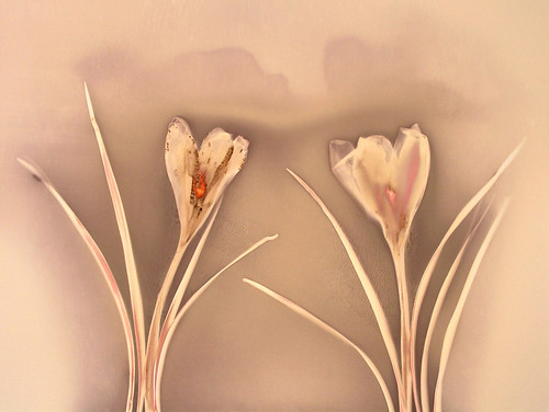 Lumen Print 1619 Crocus by John Fobes: copyrighted all rights reserved