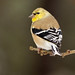 Gold  Finch-0010 by vdrobphoto