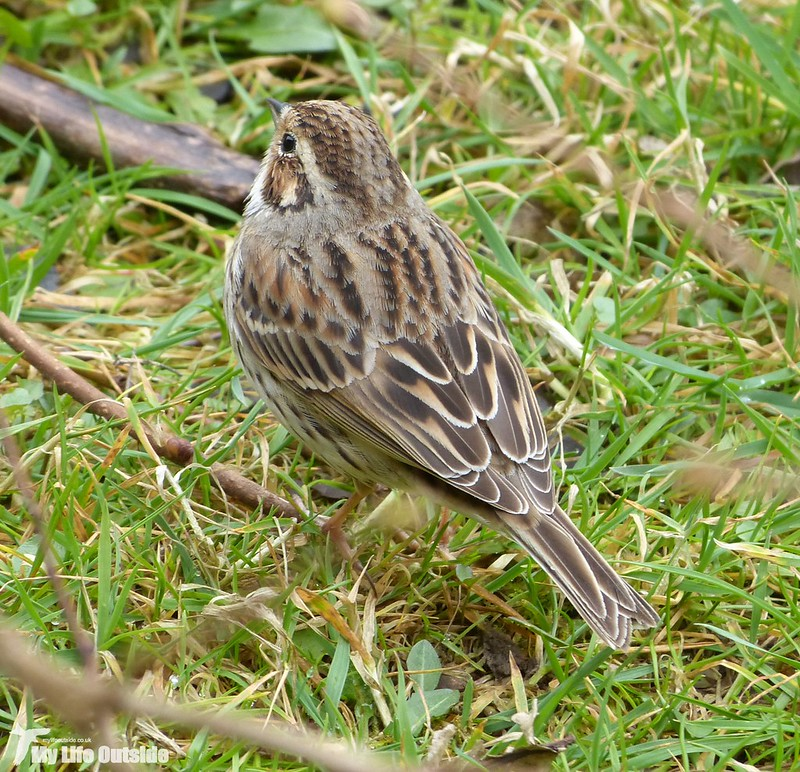 P1110267 - Little Bunting, Forest Farm