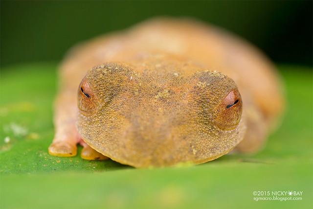 Harlequin flying frog (Rhacophorus pardalis) - DSC_5062
