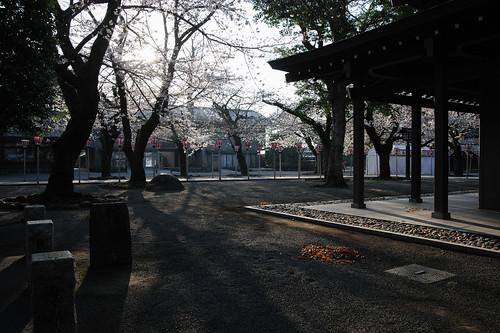 人も桜もまばらな朝