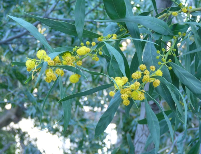Acacia saligna 16867753858_58a9a48d0a_o