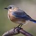 Female Eastern Bluebird by rivadock4