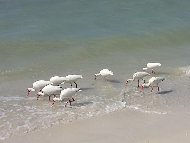 ibises_2