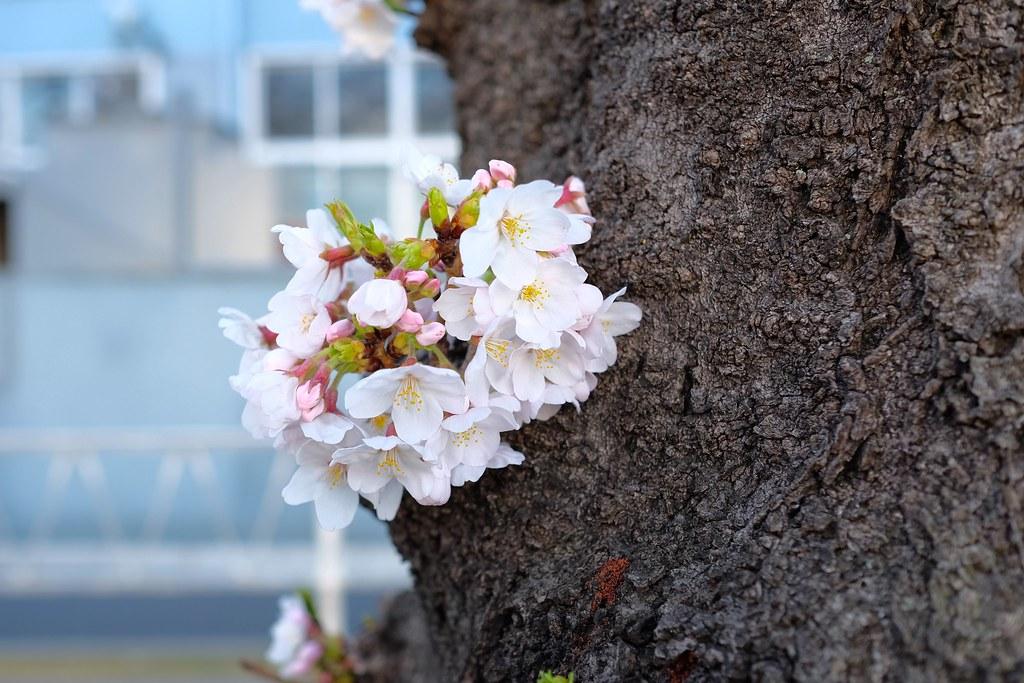 Toritsudaigaku Sakura