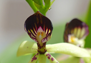 Cockleshell Orchid (Prosthechea cochleata)