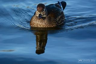 The Female Wood Duck