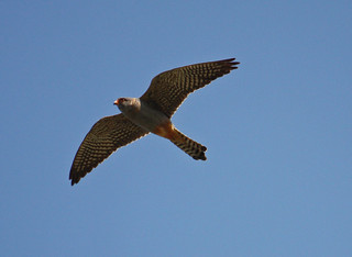 Raptors Falcons Red-footed Falcon Male falco vespertinus Kalloni Salt Pans 13/05/11
