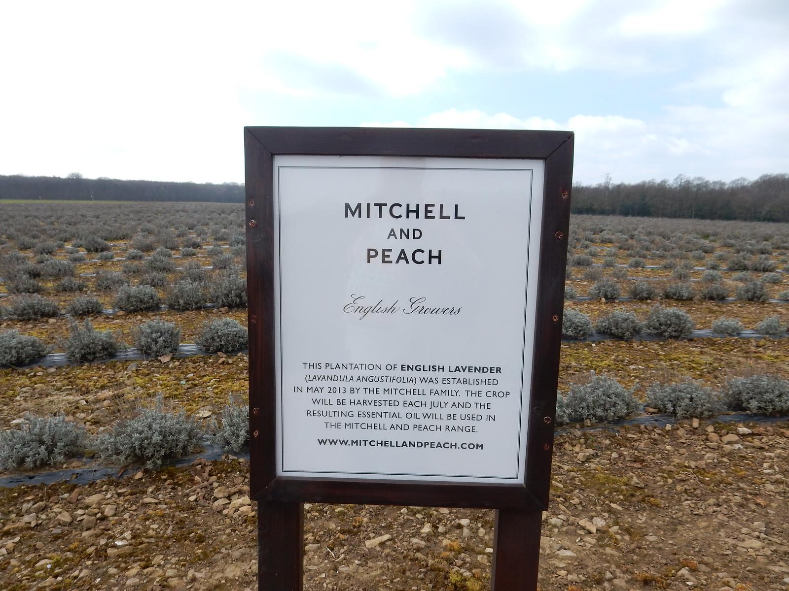 New lavender fields Sevenoaks Circular Where the orchards were.