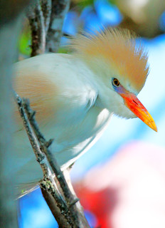 Cattle egret in plummage
