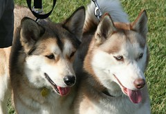 alaskan klee kai(0.0), russo-european laika(0.0), dog breed(1.0), animal(1.0), west siberian laika(1.0), dog(1.0), czechoslovakian wolfdog(1.0), siberian husky(1.0), pet(1.0), shikoku(1.0), canadian eskimo dog(1.0), mammal(1.0), east siberian laika(1.0), norwegian elkhound(1.0), tamaskan dog(1.0), greenland dog(1.0), northern inuit dog(1.0), wolfdog(1.0), saarloos wolfdog(1.0), native american indian dog(1.0), jã¤mthund(1.0), alaskan malamute(1.0), sled dog(1.0),