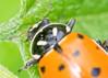 Ladybug Close Up