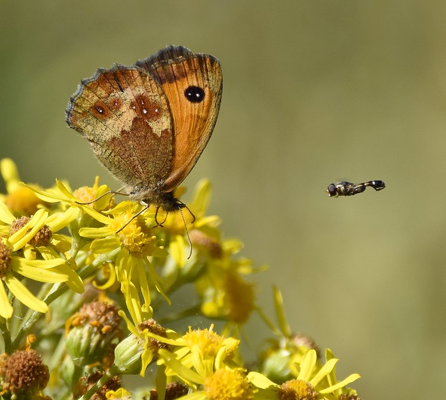 Gatekeeper and the fly!