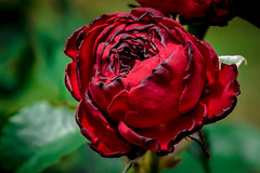 Tinged Red Rose