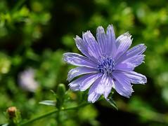 Cichorium intybus (chicory), Beverage Garden, National Herb Garden