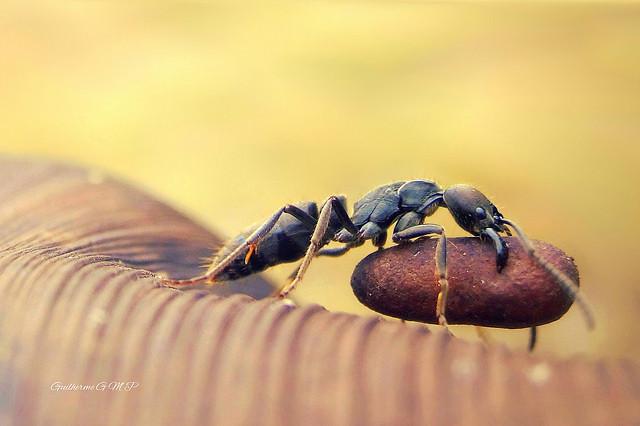 Hormigas transportando comida