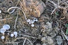 Grote speldenprikzwam (Poronia punctata)