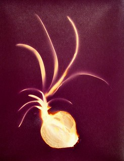 Lumen Print 1617 Onion by John Fobes; coptrighted all rights reserved