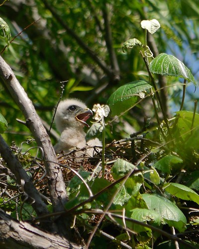 Red-shouldered Hawk Nestling - 2