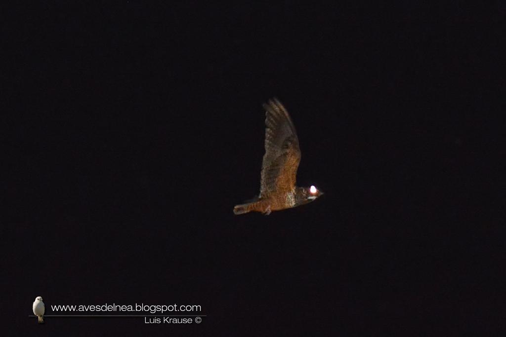 Añapero castaño (Semicollared Nighthawk) Lurocalis semitorquatus