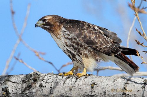 Red- tailed l Hawk