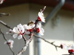 Méh a barackfa virágán
