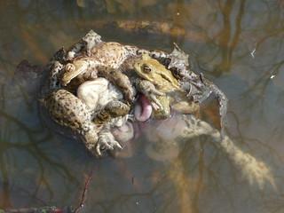 Erdkröten ( bufo bufo )