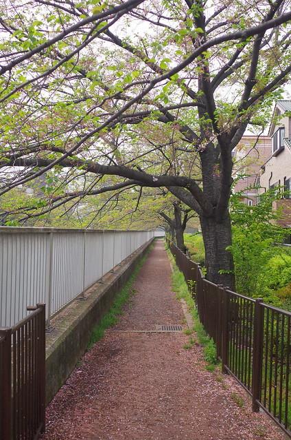 sakura after blooming riverside street 【Explored】