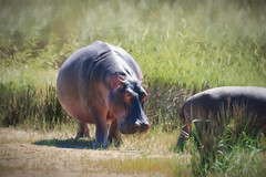 hippo in the reeds