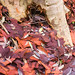 Small photo of Callicoma Walk - Berowra Valley N.P.
