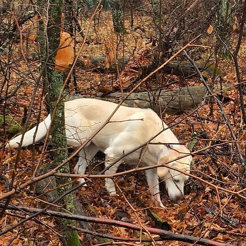 Exploring the woods. #Daisy