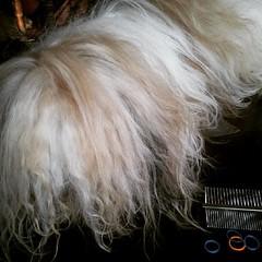 Max looks like a mop  ;-) #shihtzu #shihtzuhair #ShihTzuPhilippines #shihtzusofinstagram
