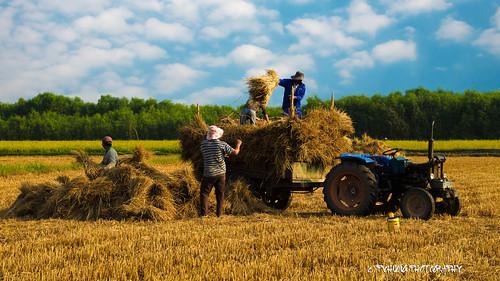 harvesttime củchi ngàymùa phamvanhuong khoanhcuaphamvanhuong pvhuongphotography nhiepanhphamvanhuong