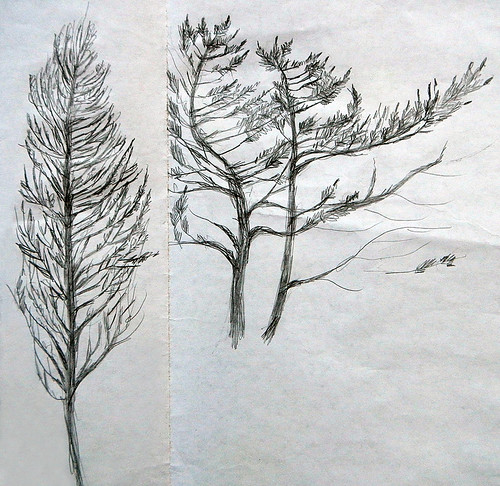 Pencil Sketch of Trees on the Juan de Fuca Trail