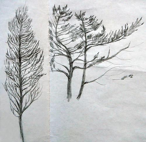 Pencil Sketch of Trees on the Juan de Fuca Trail