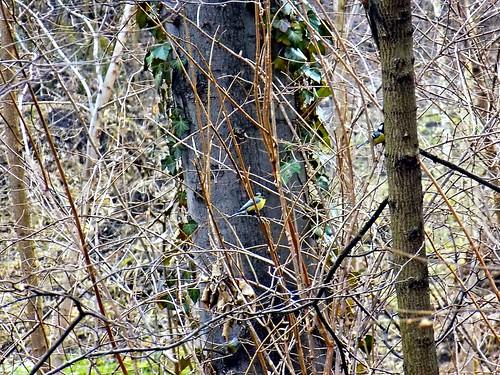 park bird nikon sofia south small ivy bulgaria coolpix titmouse парк птици птица българия софия никон малка синигер южен бръшлян l330 малки nikoncoolpixl330