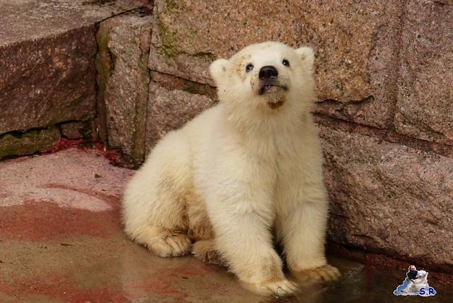 Eisbär Nachwuchs Zoo Rostock 30.03.2015  191