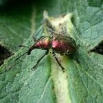 aranyos eszelény - Rhynchites auratus