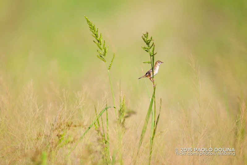 Streaked Fantail Warbler (Cisticola juncidis) by Dolina