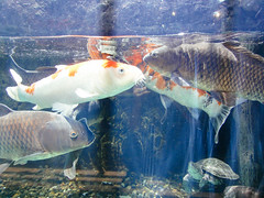 goldfish(0.0), animal(1.0), carp(1.0), fish(1.0), fish(1.0), marine biology(1.0), koi(1.0),