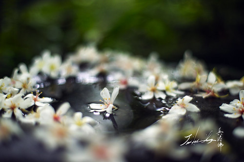 Oil Tung Flower