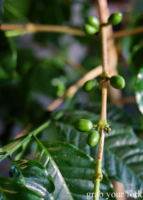 Coffee cherries at Havana Coffee Works, Wellington
